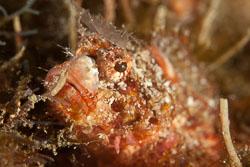 BD-110317-Puerto-Galera-3846-Parascorpaena-mossambica-(Peters.-1855)-[Mozambique-scorpionfish].jpg
